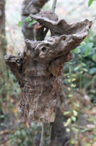 Juché dans l'arbre, ce monstre venu de l'Hérault. Juin 2019
